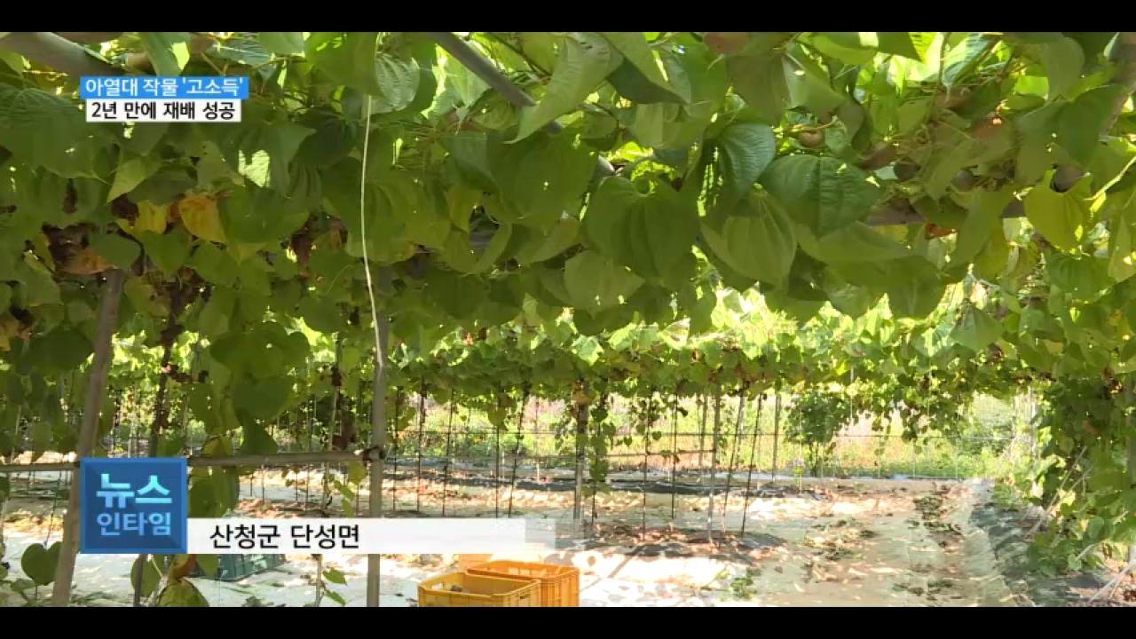 (R) 줄기에서 열리는 열매마..고소득 작물 '주목' 사진