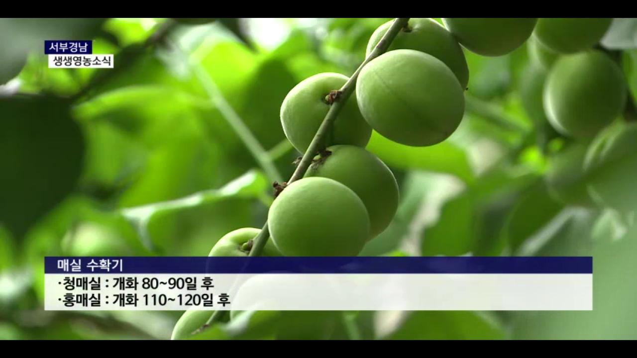 (섹션R) 생생영농소식 - '제철 과일' 매실 효능과 구입 요령은 사진